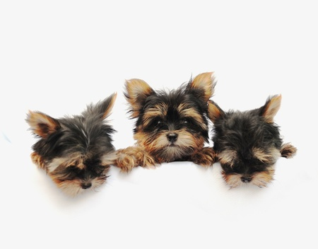 Yorkshire Terrier (2 months) in front of a white background Stock Photo - 9726658