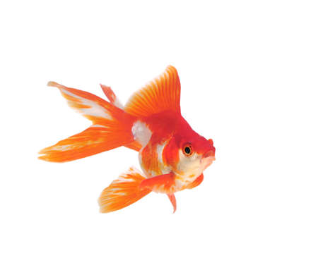 gold fish isolated on white Stock Photo - 9726680