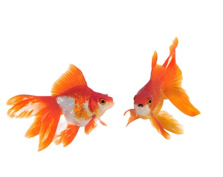 gold fish isolated on white Stock Photo - 9726657