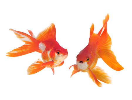gold fish isolated on white Stock Photo - 9726739