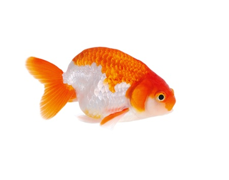 Lion head goldfish, close-up photo