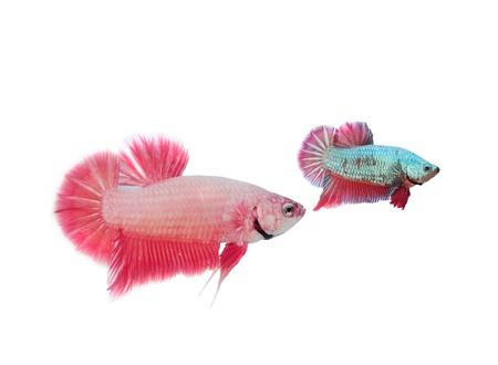 Siamese fighting fish Stock Photo - 9726689