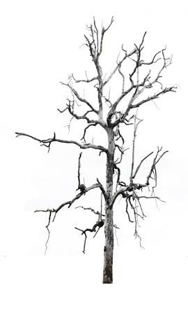 arbre mort: Seul arbre vieux et mort avec des perroquets blancs sur les branches isol�es sur fond blanc