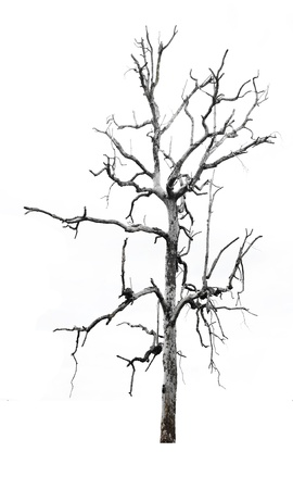 leafless: Single old and dead tree with white parrots on the branches isolated on white background  Stock Photo