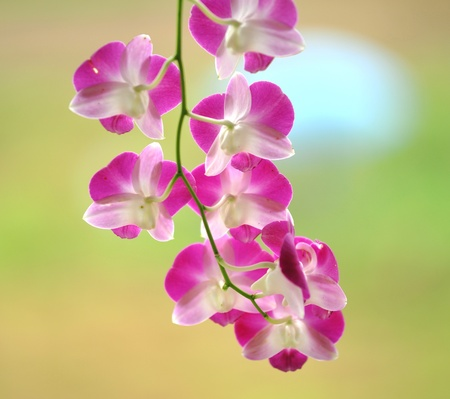 pink orchid on the yellow background  photo