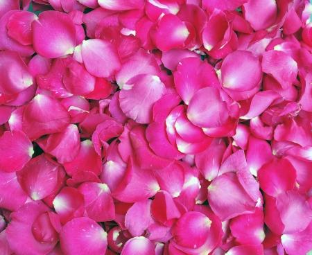 arrière-plan de pétales roses Rose