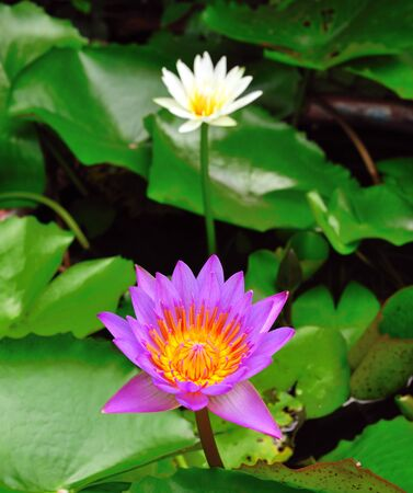 A blooming lotus flower Stock Photo - 10271162