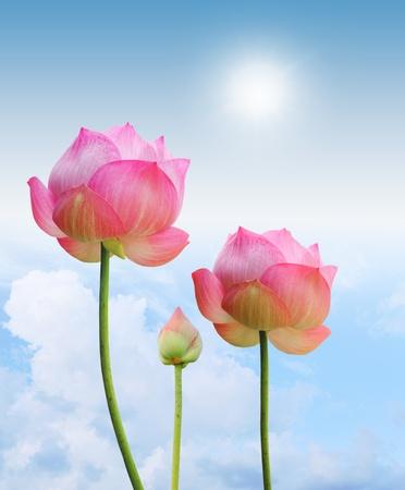 flor de loto: Rosa luz lotus y sol en el fondo de cielo azul Foto de archivo