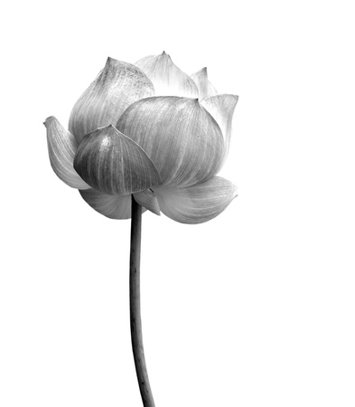 black and white: Lotus flower in black and white isolated on white background.