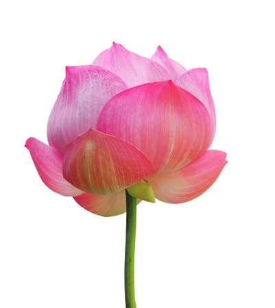 flor de loto: una flor de loto aislada en blanco  Foto de archivo