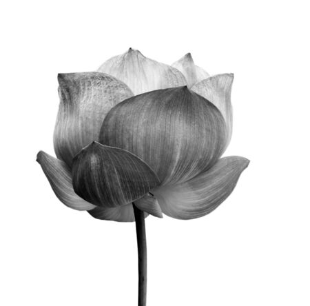 flor de loto: Flor de loto en blanco y negro aislada sobre fondo blanco.