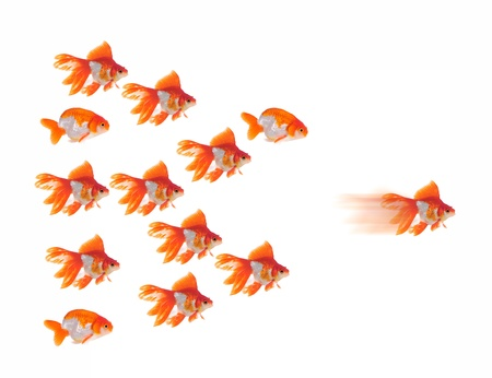 goldfish leader on white background, unique and diffrent business concept Stock Photo - 10709820