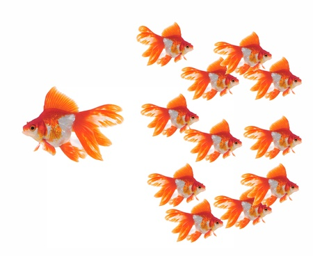 large and small goldfish showing different competition  photo