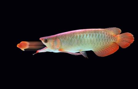 arowana: Big fish eats little fish  Stock Photo