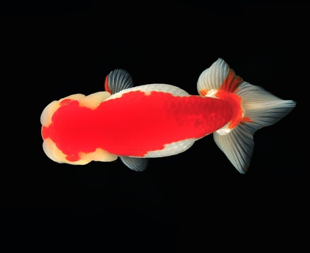 Top view Lion head goldfish on black background Stock Photo - 10849998