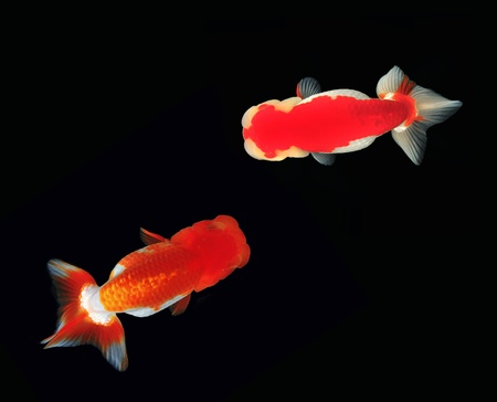 Top view Lion head goldfish on black background Stock Photo - 10968411