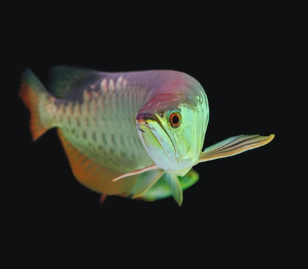 arowana: Asian Arowana fish on black background.