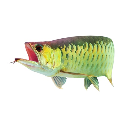 egglayer: Asian Arowana fish on white background.