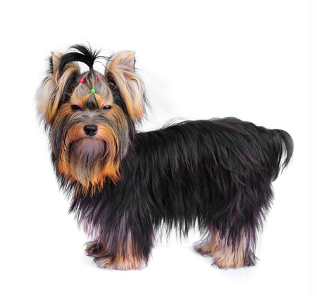 Yorkshire terrier on white  photo
