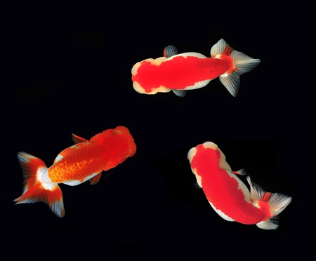 Top view Lion head goldfish on black background  Stock Photo - 10990436