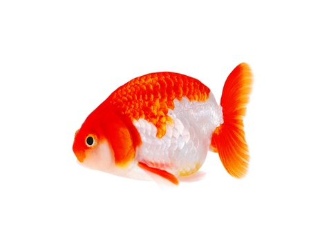 Lion head goldfish, close-up  photo