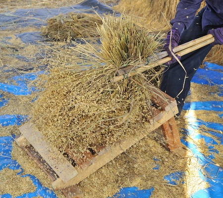 The traditional way of threshing grain in thailand photo