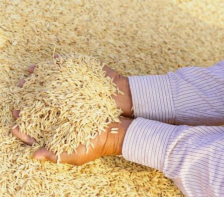 hand holding jasmine rice photo