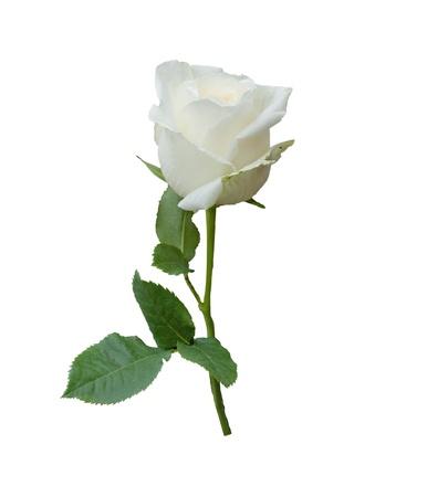 Single white rose flower isolated on white background