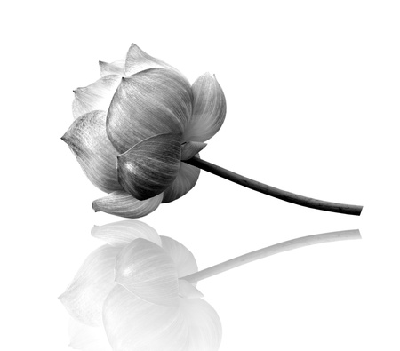 Lotus flower in black and white isolated on white background photo