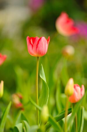 Beautiful spring tulip flowers in colorful garden  photo