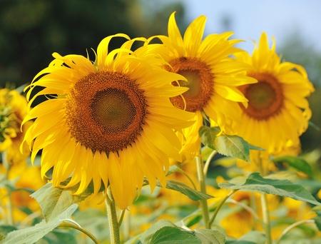 sunflower Stock Photo - 11721488