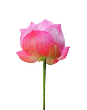 white lotus flower: Lotus flower isolated on white background