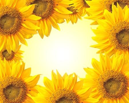 summer: Подсолнечник природе летом фон