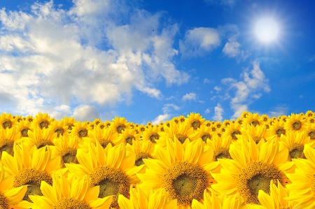 field of sunflowers and blue sky Stock Photo - 11838379