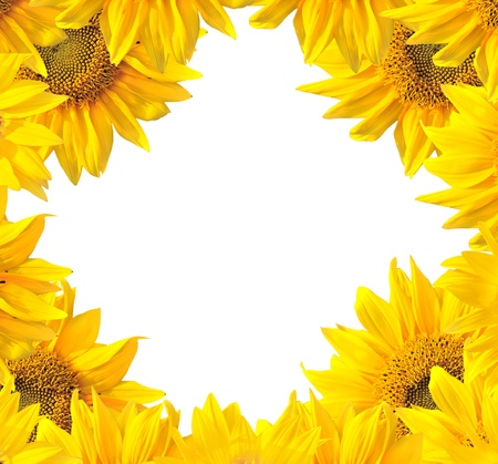 Sunflower nature summer background  photo