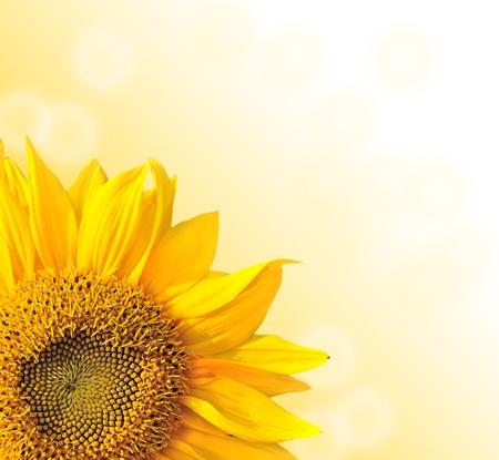 semillas de girasol: Naturaleza Girasol verano de fondo