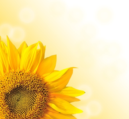sunflower isolated: Sunflower nature summer background  Stock Photo