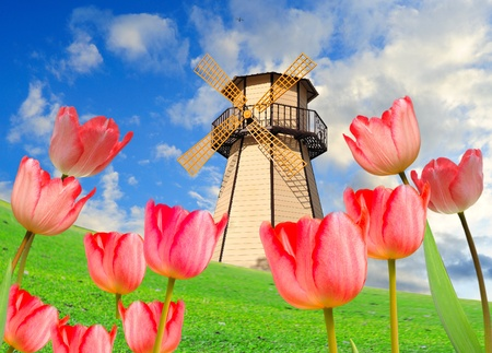 colorful field of tulips and windmill  photo