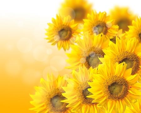 Sunflower nature summer background Stock Photo - 11838370
