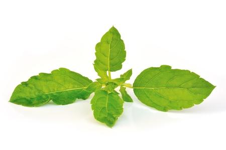 Holy basil or tulsi leaves isolated over white background photo
