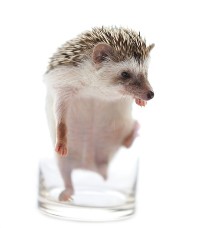 hedgehog in front of a white background  photo