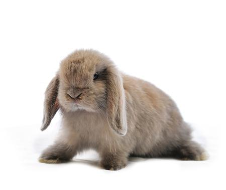 young rabbit: close-up sur un lapin de Lop devant un backgroun blanc