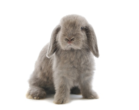 lop: close-up on a Lop Rabbit in front of a white backgroun