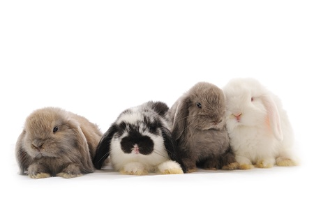 close-up on a Lop Rabbit in front of a white background  Stock Photo - 12349642