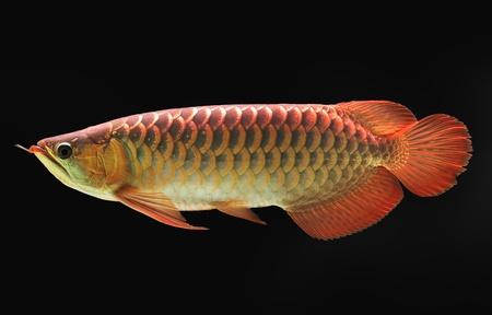 buntbarsch: Asiatischer Arowana Fisch auf schwarzem Hintergrund. Lizenzfreie Bilder
