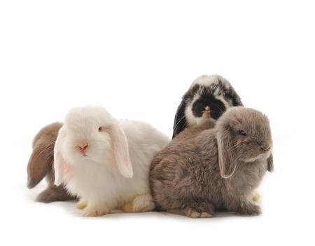young rabbit: Lapin lop en face d'un blanc backgroun Banque d'images