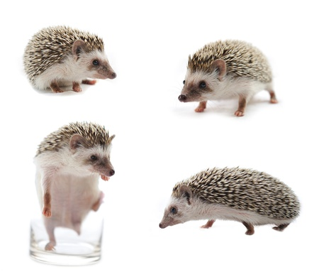 hedges: hedgehog in front of a white background  Stock Photo