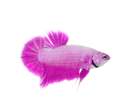 Siamese fighting fish  Stock Photo - 12811088
