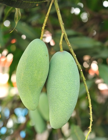 Close-up of mangoes on the branch of a tree  photo