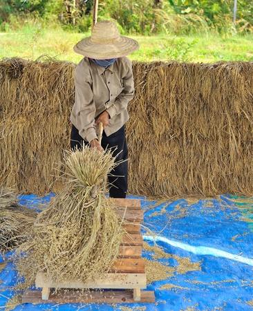 threshing: The traditional way of threshing grain in Thailand